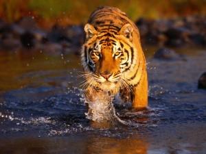 тигр идет