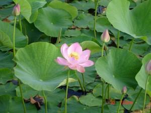 лотос зацвел на озере под Уссурийском